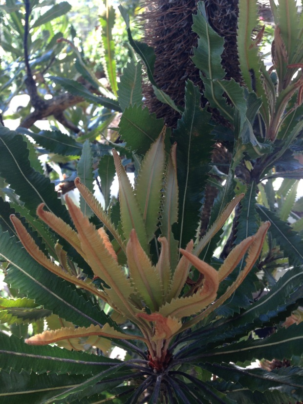 Banksia serrata new growth. Janna Schreier