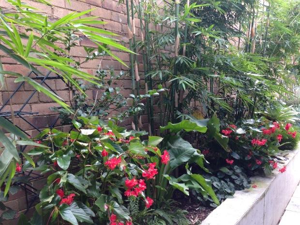 Begonias at Brendan Moar's St Peter's garden. Janna Schreier