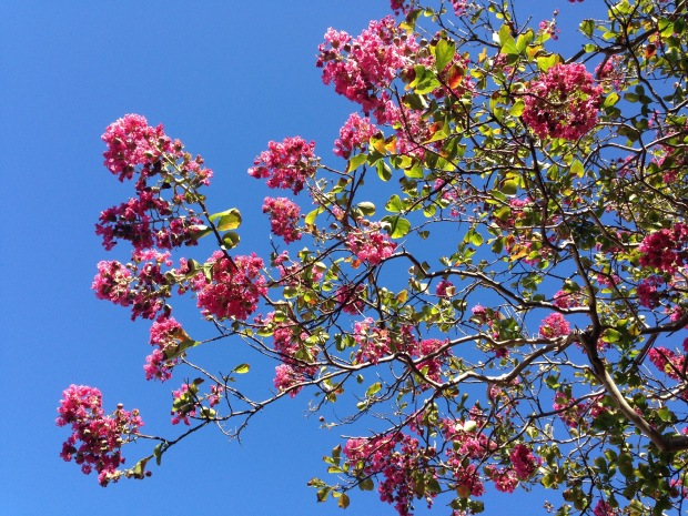 Crepe Myrtle on Middle Head Road. Janna Schreier