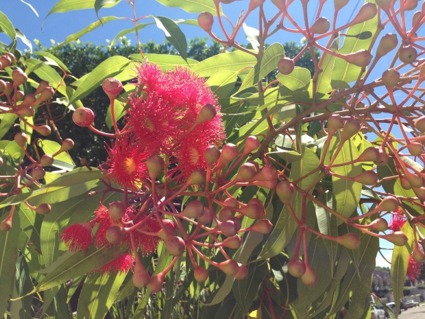 Flowering gum at Balmoral. Janna Schreier