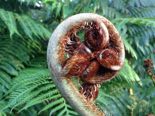 Hairy tree fern frond unfurling. Janna Schreier