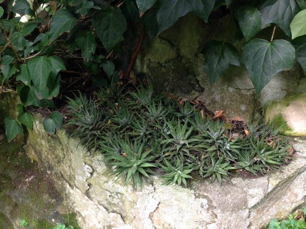 Haworthia succulent pocket. Janna Schreier