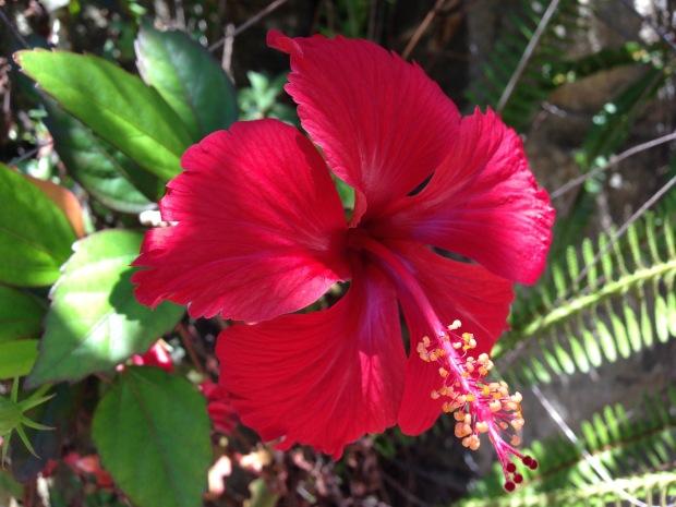 Hibiscus. Janna Schreier