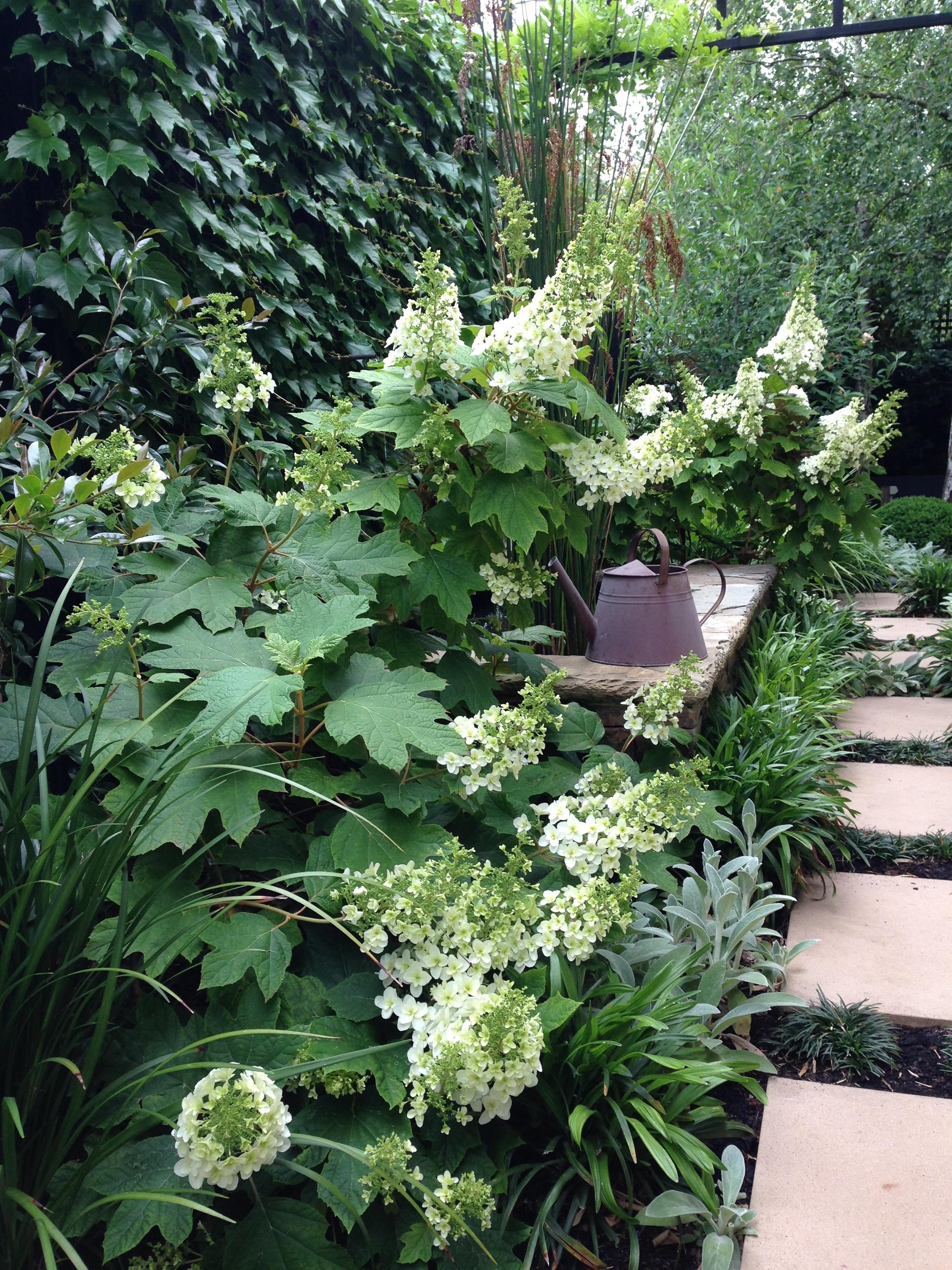 The challenge of using burgundy foliage janna schreier for Hydrangea quercifolia