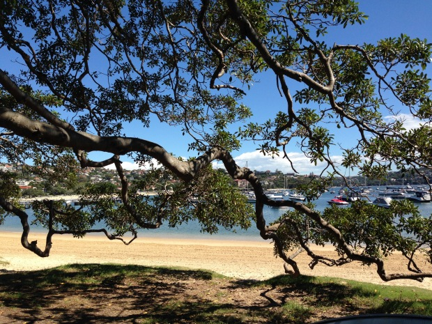 Morton Bay Fig at Balmoral. Janna Schreier