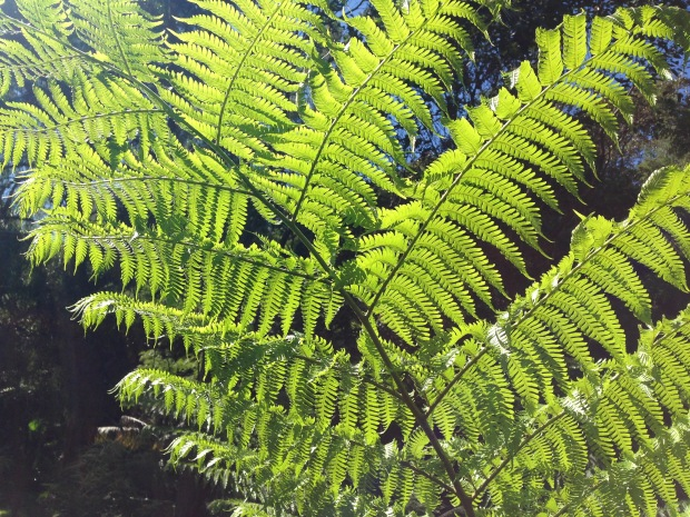 Tree fern at Balmoral Oval Steps. Janna Schreier