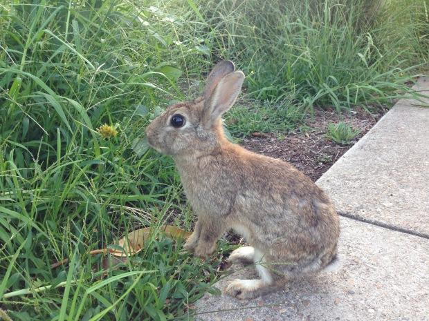 Wild rabbit in Mosman. Janna Schreier