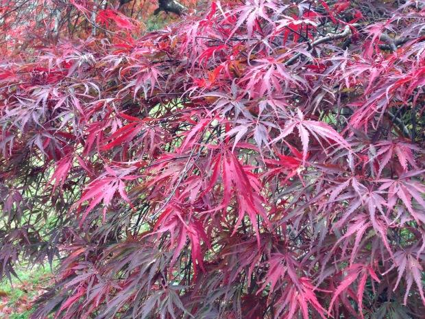 Acer palmatum red leaves at Woodgreen. Janna Schreier