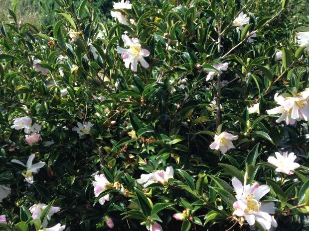 Camellia at Wildwood garden, Bilpin. Janna Schreier