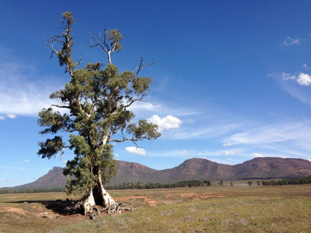 Cazneaux tree in the Flinders Ranges. Janna Schreier