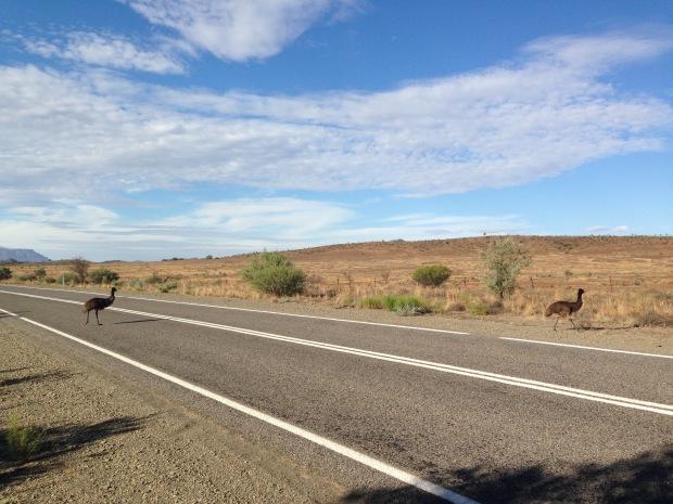 Emus crossing the road in South Australia. Janna Schreier