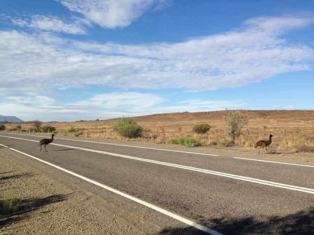 Emus crossing the road in South Australia. Janna Schreier