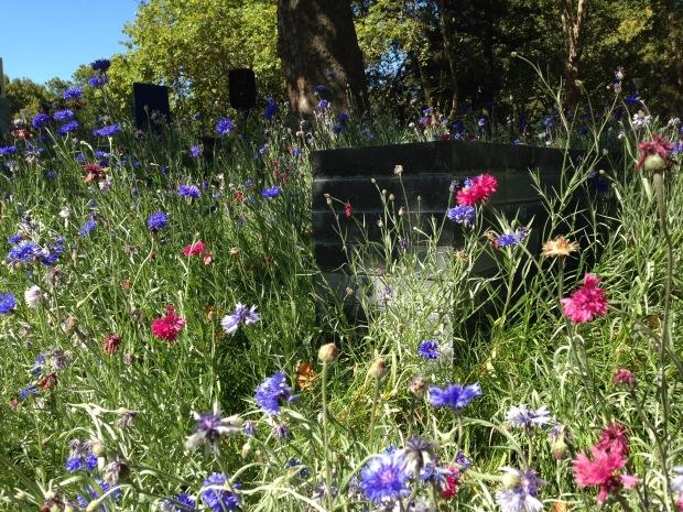Ian Barker's cornflower meadow. Janna Schreier