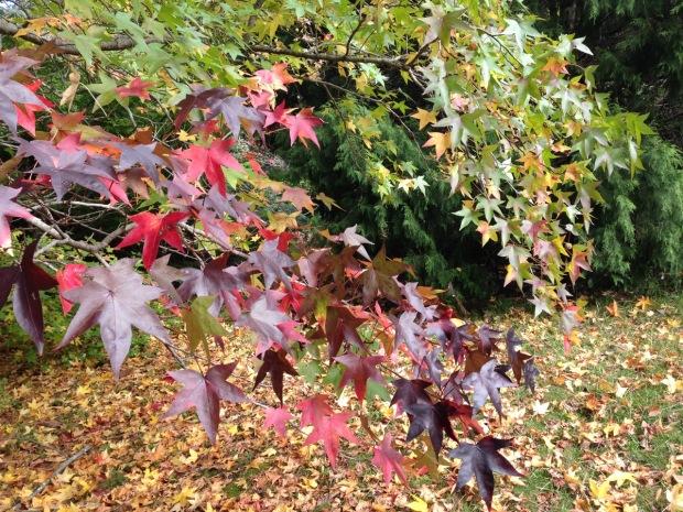 Liquidambar colours at Woodgreen. Janna Schreier
