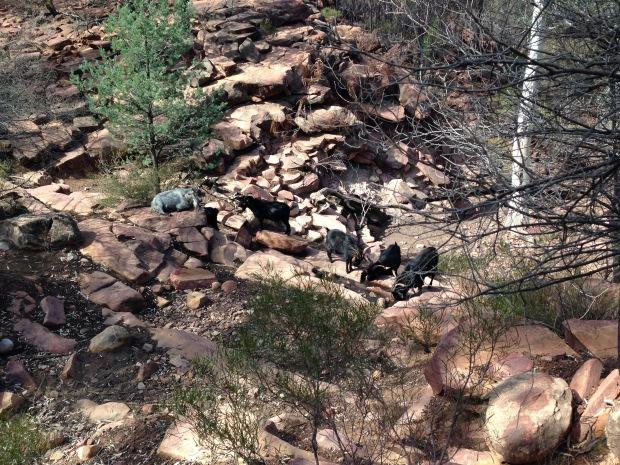 Mountain goats in the Flinders Ranges. Janna Schreier