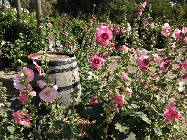 Pink hollyhocks in Mintaro. Janna Schreier