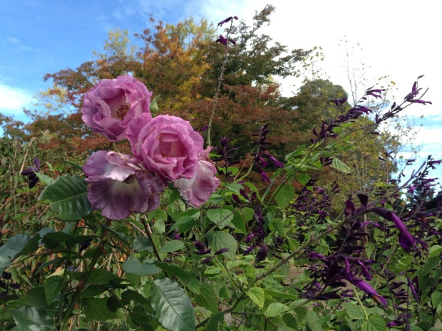 Roses and Salvia at Woodgreen. Janna Schreier