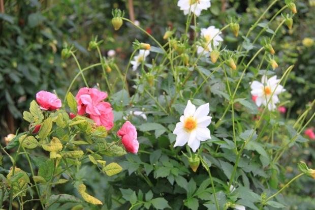 Dahlia and roses at Cruden Farm. Janna Schreier