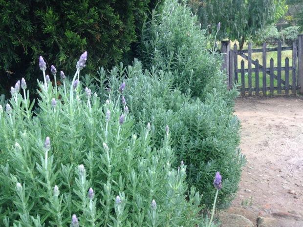 Lavender and conifers. Janna Schreier