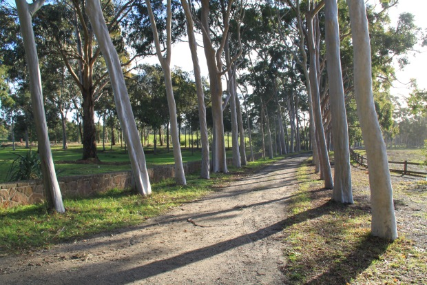 Lemon scented gum lined driveway at Cruden Farm. Janna Schreier