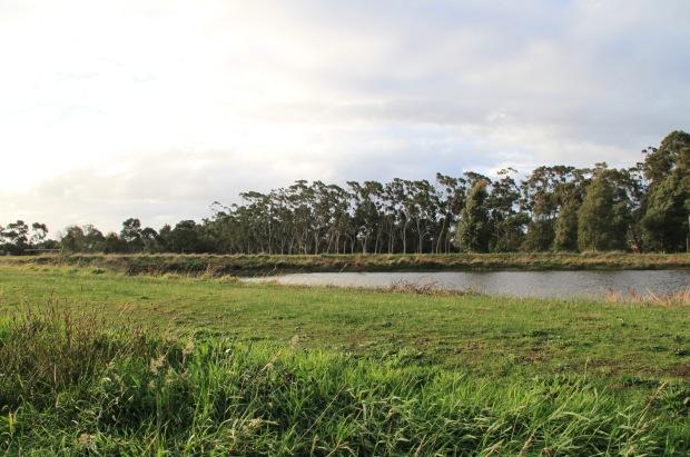 Lines of Eucalyptus mark the Cruden Farm boundary. Janna Schreier