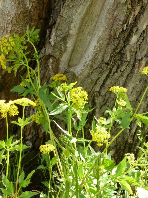 Smyrnium perfoliatum in Dan Pearson's Chatsworth garden
