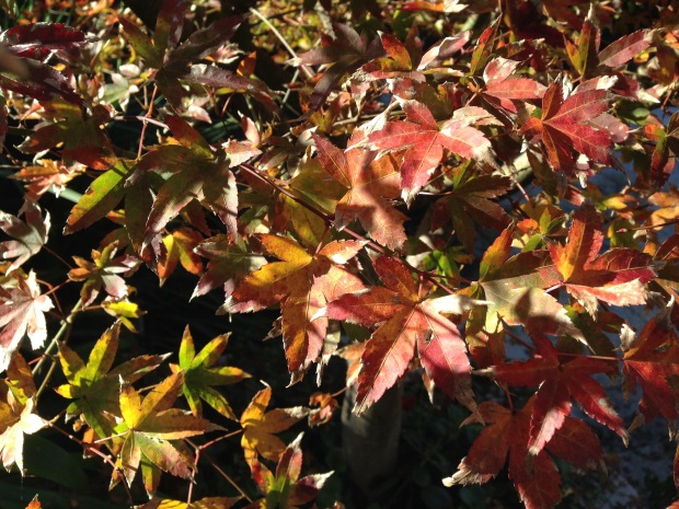 Autumnal Acer leaves