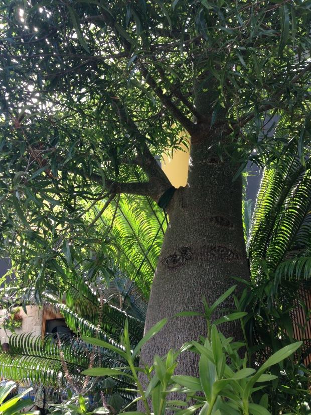 Brachychiton bottle tree. Janna Schreier