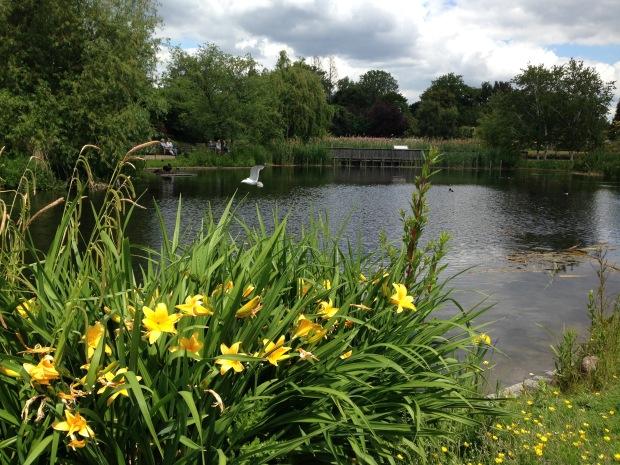Daylilies in Regent's Park. Janna Schreier