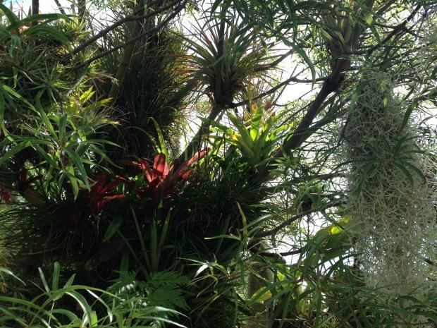 Epiphytes at Mark Paul's garden. Janna Schreier