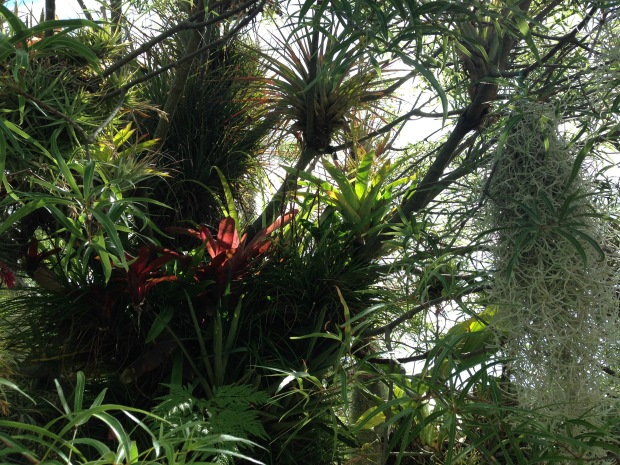 Epiphytes at Mark Paul's garden. Janna Schreier