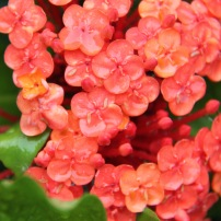 Ixora 'Prince of Orange'