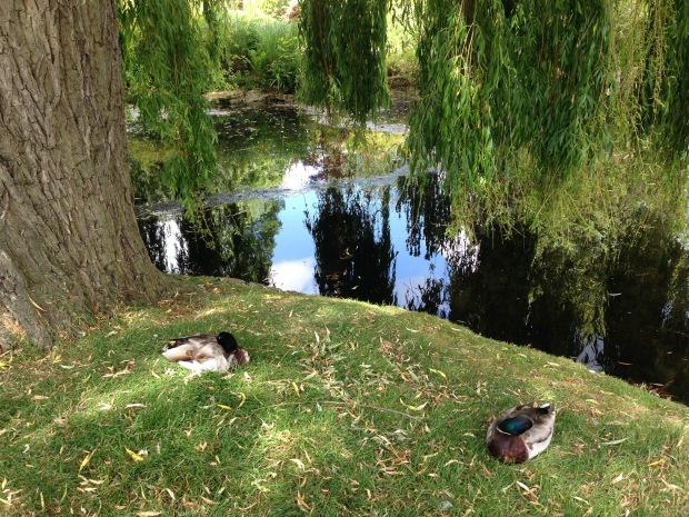Mallard ducks in Regent's Park. Janna Schreier