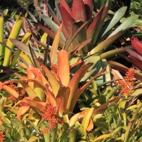 Mixed bromeliads