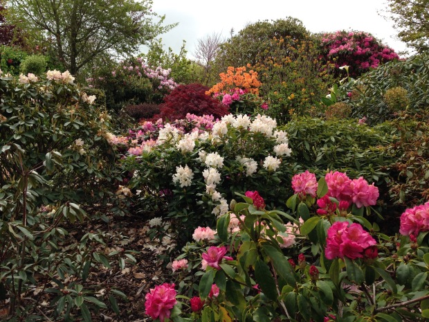 Oranges, cream, white and pink Rhododendron