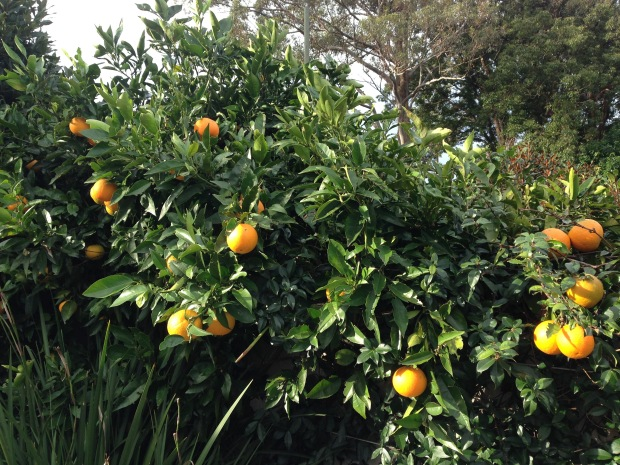 Oranges in my garden