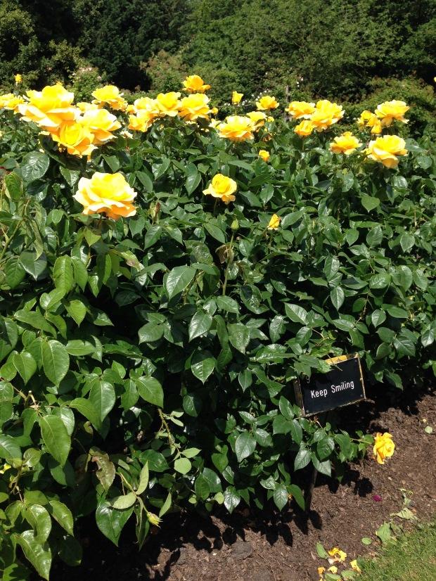 Rosa 'Keep Smiling' in Regent's Park. Janna Schreier