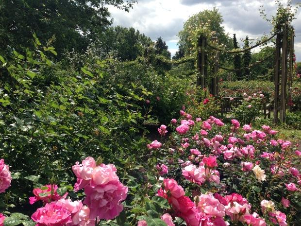 Roses in Queen Mary's Garden, Regent's Park. Janna Schreier
