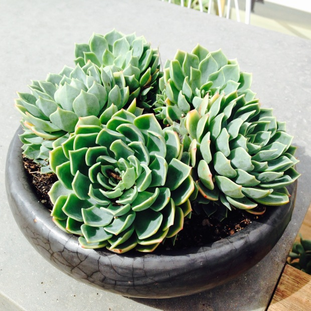 Succulents in pots. Janna Schreier