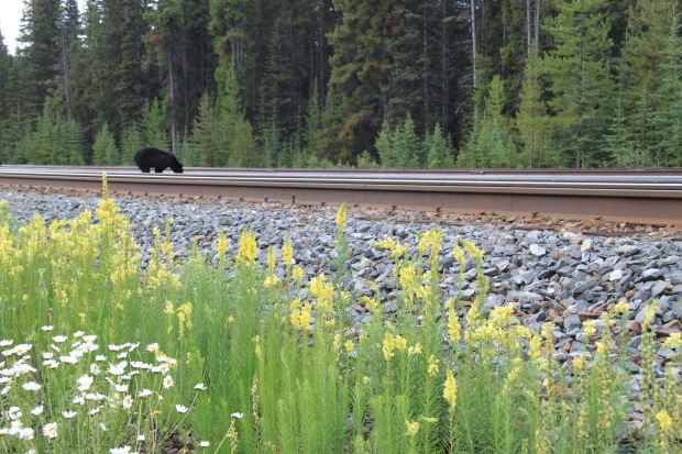Bears, conifers and wildflowers near Banff. Janna Schreier