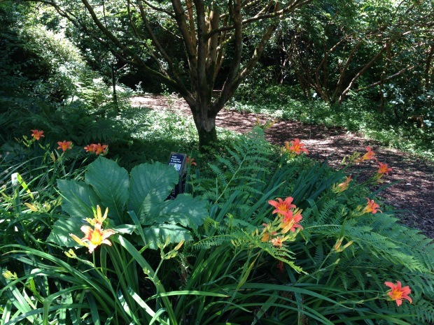 Day lilies, ferns and Rogersia. Janna Schreier