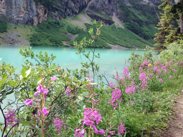Fireweed at Lake Louise. Janna Schreier