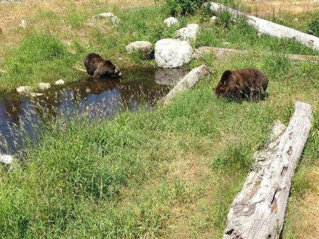 Grizzly Bears in British Columbia. Janna Schreier