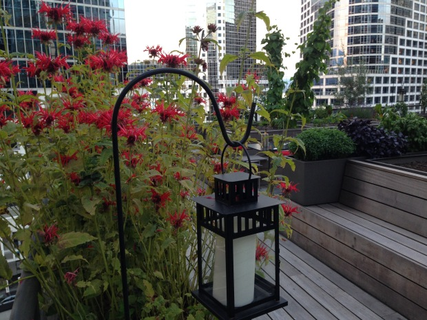 Monarda on the Roof Terrace of the Vancouver Club. Janna Schreier