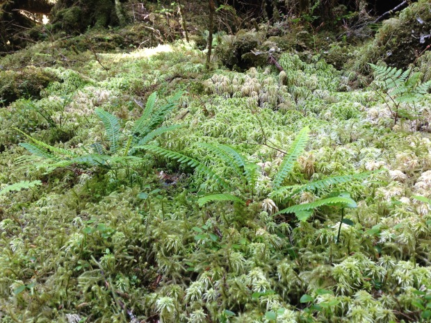 Mosses and ferns at Haida Gwaii. Janna Schreier