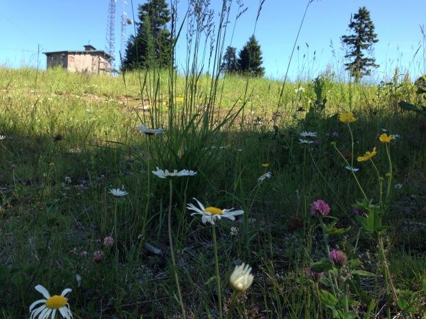 Wildflowers on Grouse Mountain. Janna Schreier