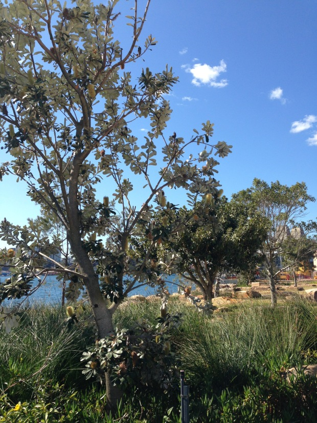 Banksia by the water at Barangaroo Reserve