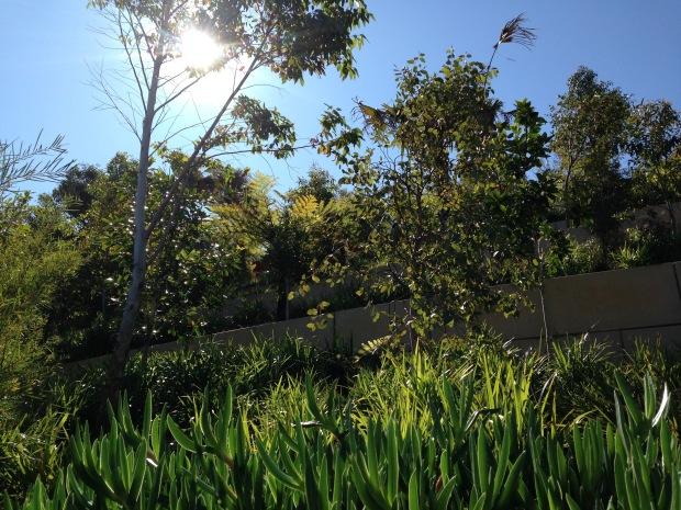 Dense, lush planting at Barangaroo Reserve