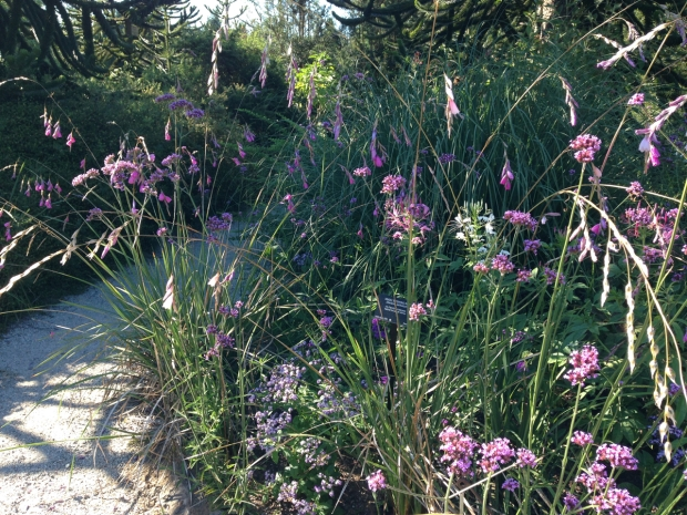 Dierama and Cleome at VanDusen Botanical Garden