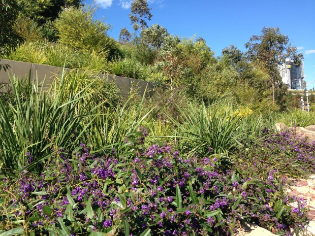 Hardenbergia adds a pop of colour at Barangaroo Reserve